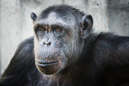 chimp: portrait of a chimp
