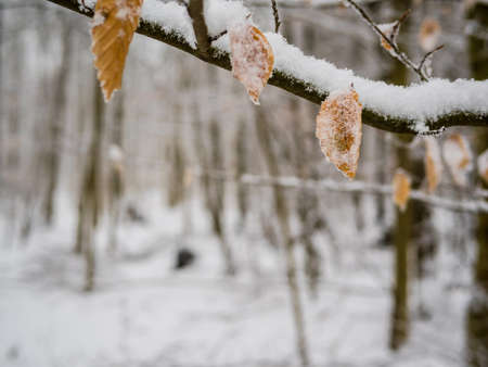 surrounds: Snow in the forest that surrounds Heidelberg
