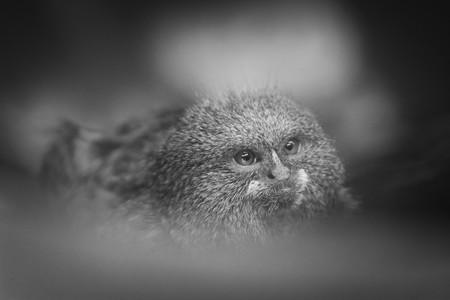 pigmy: pygmy monkey hiding in the bush
