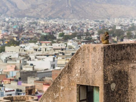 semnopithecus: Monkey with view over jaipur city