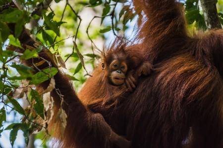 bukit: Free-living orang utans spotted while trekking the jungle in Sumatra, Indonesia