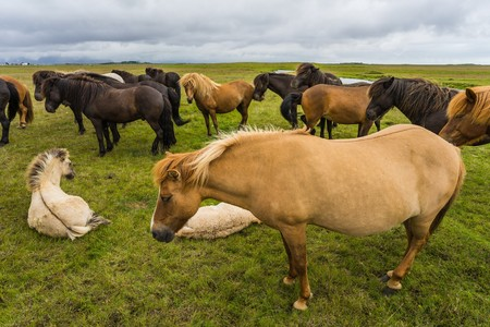 horse laugh: Horses in the wilderness of iceland