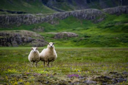 アイスランドの荒野で羊