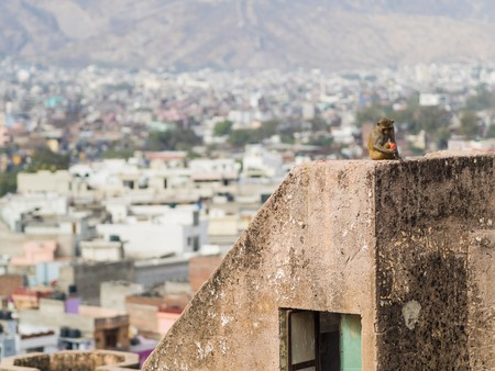invade: Monkey with view over jaipur city