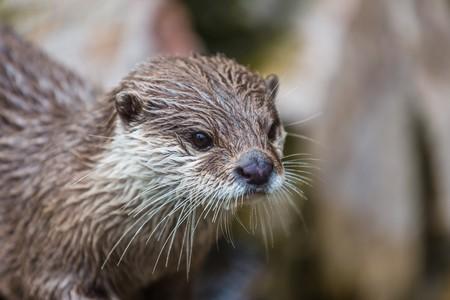 portrait of an otter