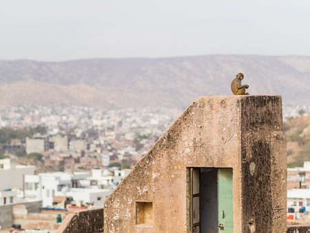 Monkey with view over jaipur city Stock Photo - 77146370