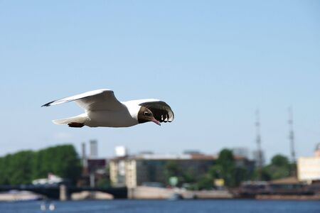 Lonely seagull flying in a blue sky in the city photo