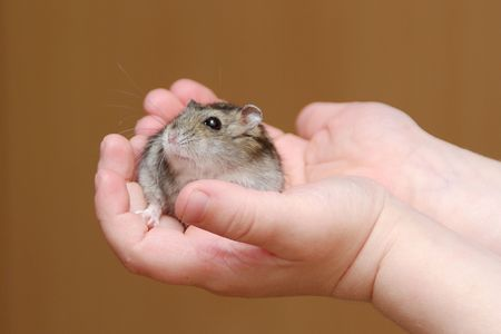 Cute little hamster in childs hands photo