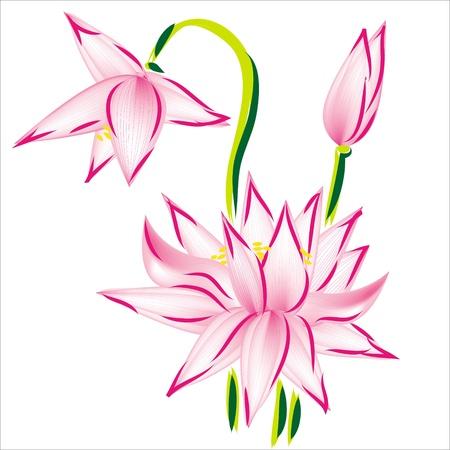 ringelblumen: Lotus Blume, isoliert auf wei�em Hintergrund