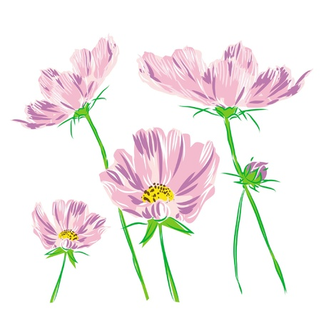 bouquet flower cosmos bipinnatus isolated on white  background