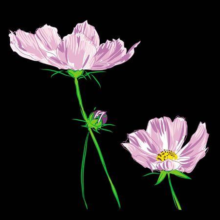 flower cosmos bipinnatus on black background
