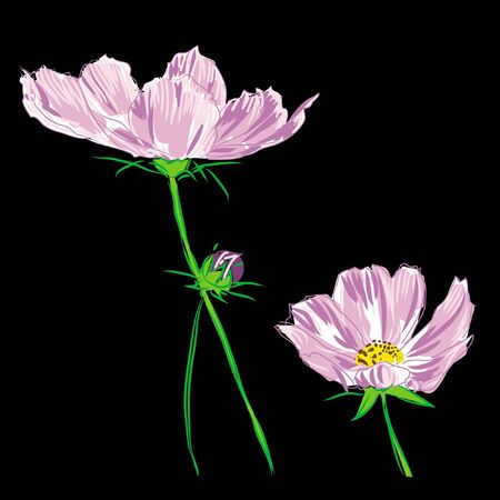 flower cosmos bipinnatus on black background