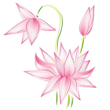 white water lilies:  flower lotus, isolated on white background   Illustration