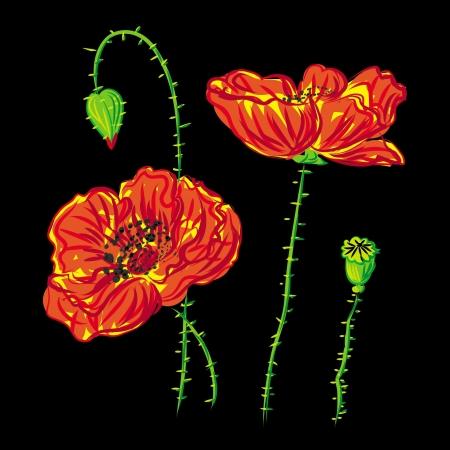 flower poppy, anemone on black background  Illustration