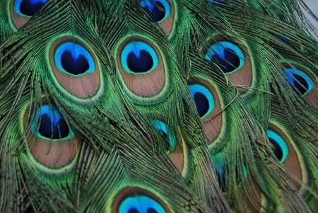 piume: Bella stretta di piume di pavone