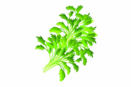 Coriander or cilantro herb