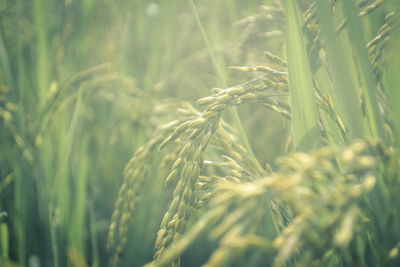 Paddy field-green agriculture land, India Stock Photo