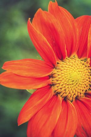 single Transvaal daisy flower on green background 免版税图像