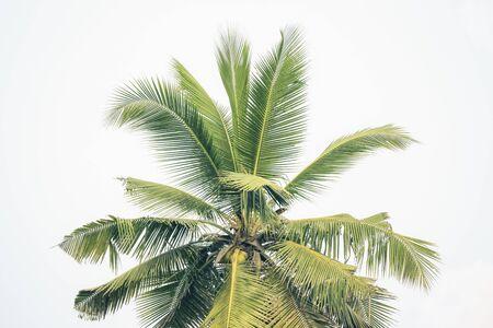 Tropical coconut palm tree