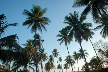 coconut tree farm in India 免版税图像 - 158488744