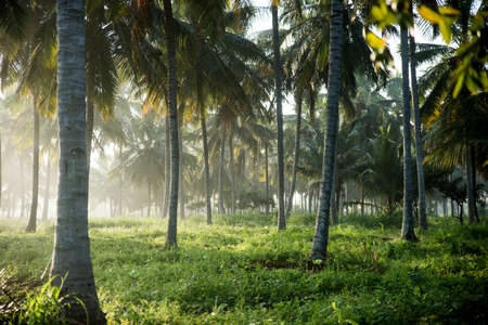 coconut tree farm in India 免版税图像 - 158488745