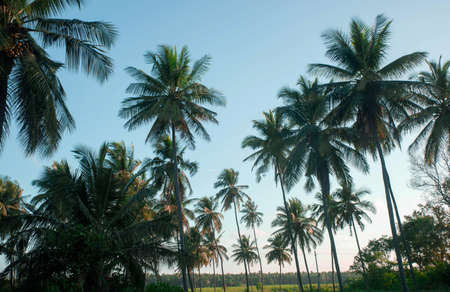 coconut tree farm in India 免版税图像 - 158488657