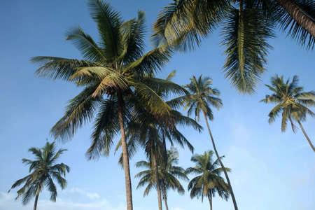 coconut tree farm in India 免版税图像 - 158488667