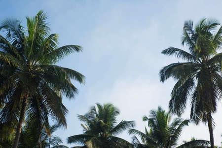 coconut tree farm in India 免版税图像 - 158488499