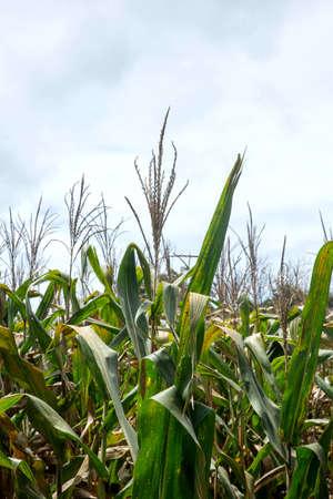 Green Maize Corn Field Plantation In Summer 免版税图像