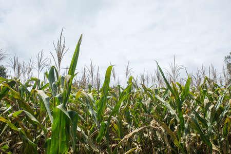 Green Maize Corn Field Plantation In Summer Archivio Fotografico