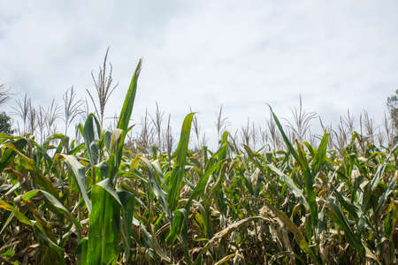 Green Maize Corn Field Plantation In Summer 免版税图像 - 158613822