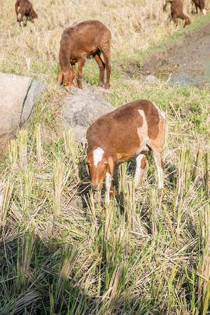 sheep in the paddy field 免版税图像