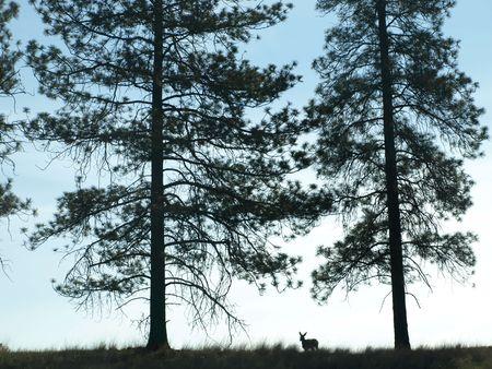 towering: Deer on hillside with 2 towering trees