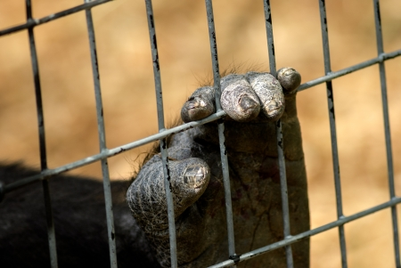 Close of a Gorillas hand or foot with dry cracked skin, clutching a wire fence.  photo