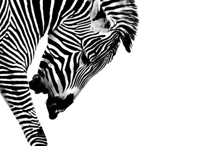 zebra head: A Gr�vy s zebra  Equus grevyi  presented in high Key Black and White   Head is down and he is calling out