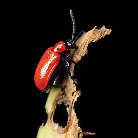A Red Lily Beetle on a severely damaged Lillium lily leaf. This garden pest is native to parts of Europe and Asia  photo