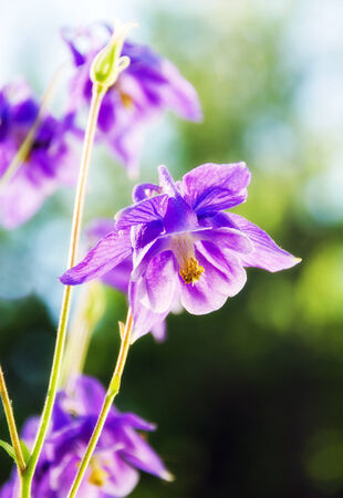 aquilegia: Purple Columbine aquilegia photographed in an outdoor garden environment under  natural light  High key exposure  Stock Photo
