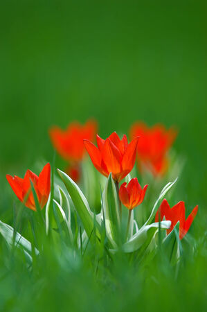 Tiny red miniature spring tulips growing up from within the grass   Soft focus and shallow DOF - Depth of Field   版權商用圖片