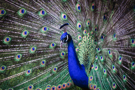 Close of a male indian peafowl peacock displaying in attempt to attract a mate
