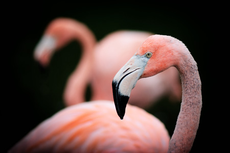 A detailed close up of a young American Flamingo still showing hints of grey in it