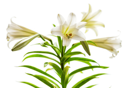 Lilium longiflorum blossoms also called Easter or November Lily presented in high key against a white background