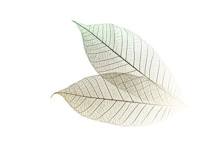 Skelett Blätter in der hohen Taste auf einem weißen Hintergrund. Standard-Bild - 25743041