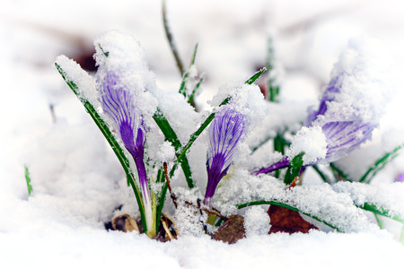winter thaw: Purple Crocuses pushing their way up through the snow.  Stock Photo