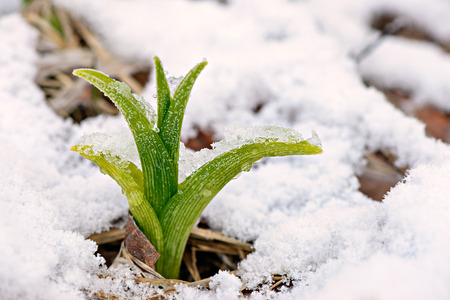 first day: A Daylily shoot or sprout caught in a late spring snow fall.  A reminder to gardeners against planting too early in the gardening season.   Stock Photo