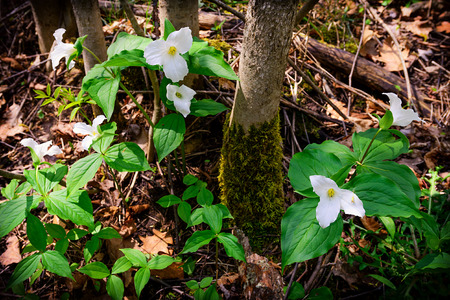 White Trilliums growing on the forest floor.  Trillium grandiflorum is the official emblem of the Province of Ontario and the State Wildflower of Ohio.  Stock Photo