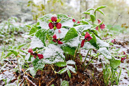Red Trillium erectum caught in an unexpected late spring snowfall.  A reminder to gardeners against planting too early in the gardening season.   photo