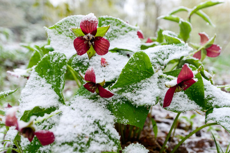 Red Trillium erectum caught in an unexpected late spring snowfall.  A reminder to gardeners against planting too early in the gardening season.