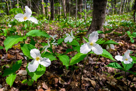 White Trilliums growing on the forest floor.  Trillium grandiflorum is the official emblem of the Province of Ontario and the State Wildflower of Ohio.