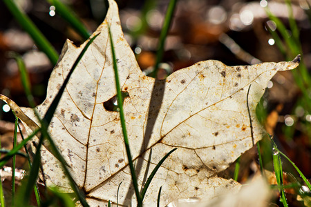 decomposition: A close up of a dew covered Maple leaf in the advanced stages of decomposition.