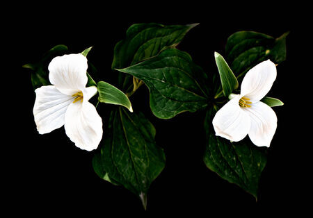 A pair of white Trilliums on a black background. Low key, with high contrast processing. Trillium grandiflorum is the official emblem of the Province of Ontario and the State Wildflower of Ohio.  Imagens